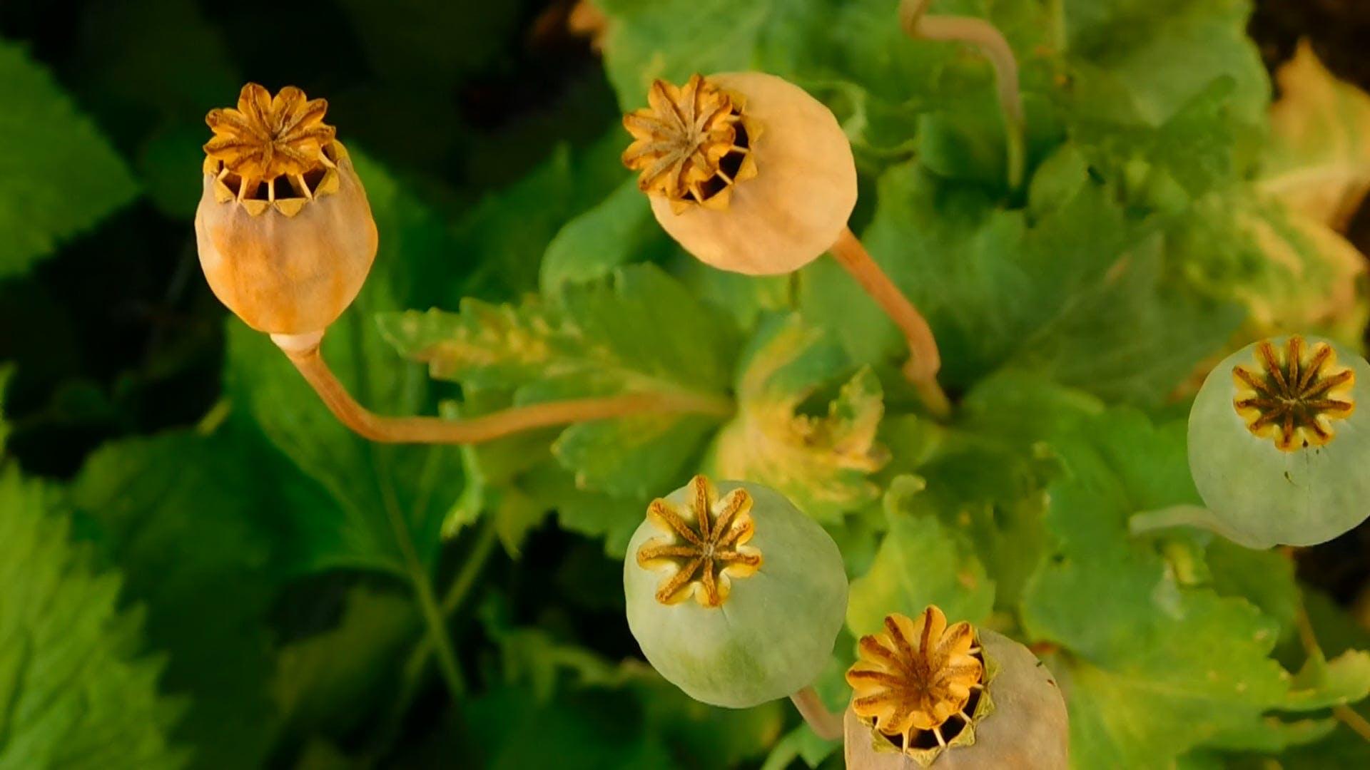 Poppy Seed Pods in the Garden