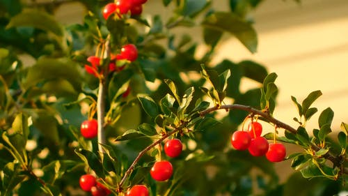 A Tree With Red Cherries