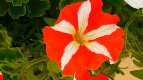 Close-Up Video of White And Red Petunia Flower