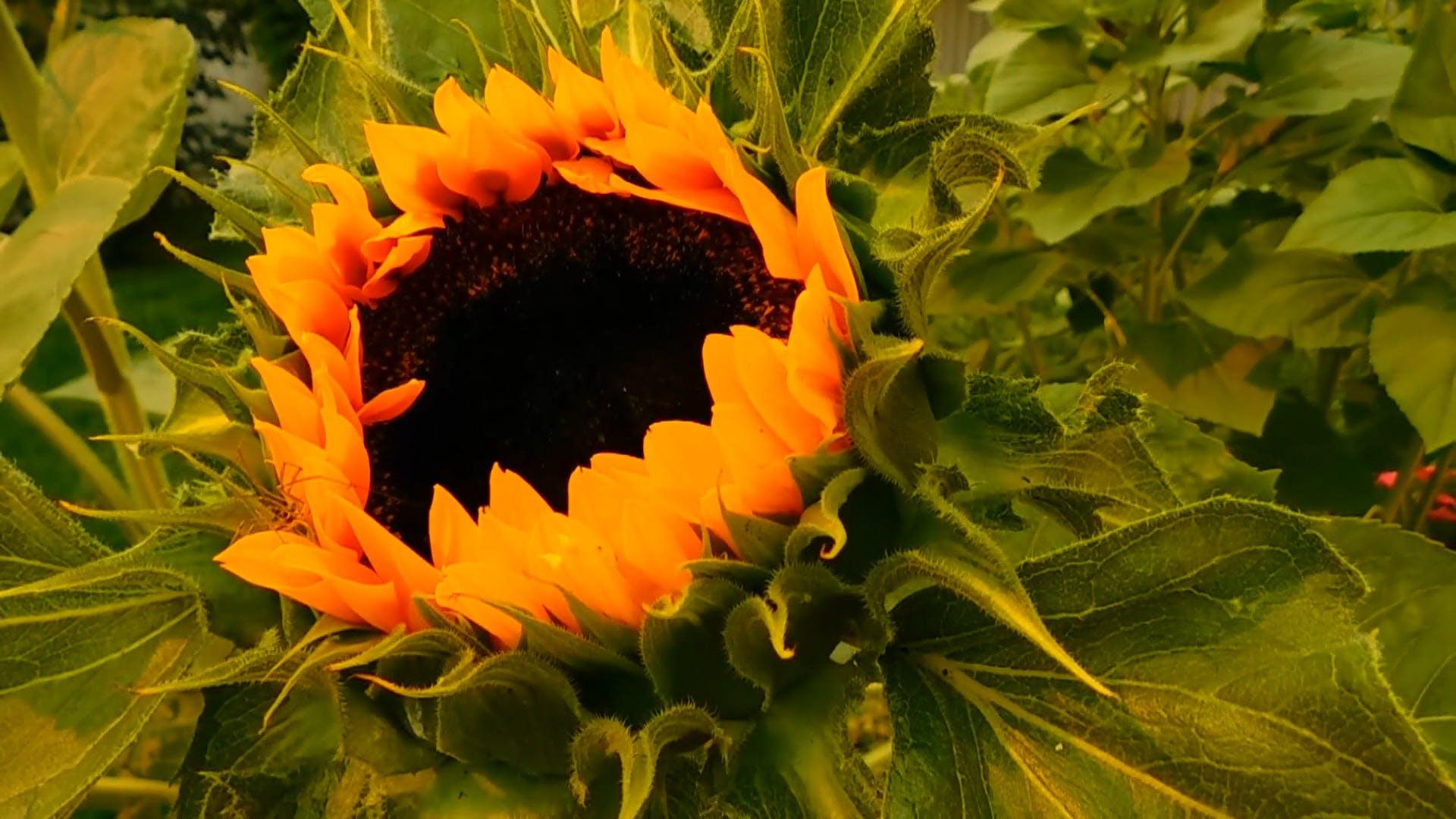 Sunflower Begins to Bloom