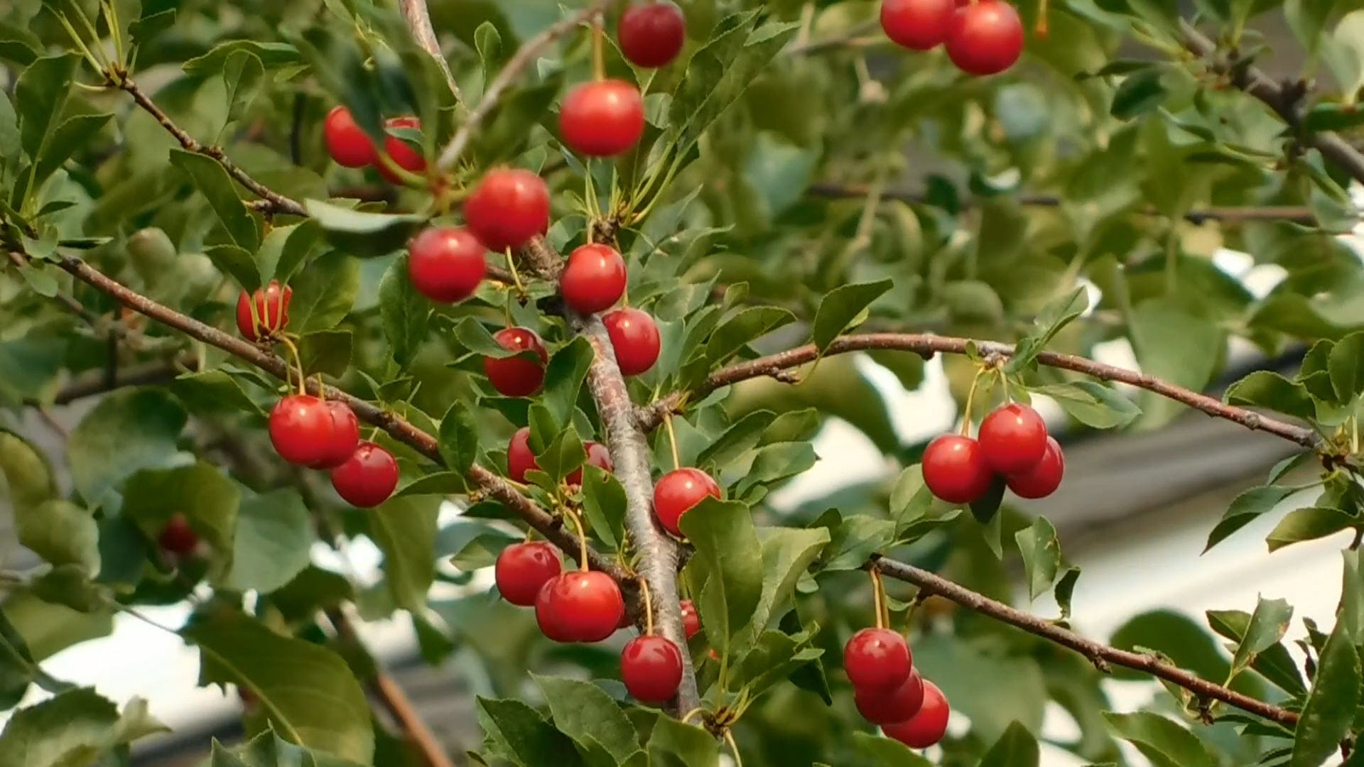 Red Cherries Hanging On The Tree
