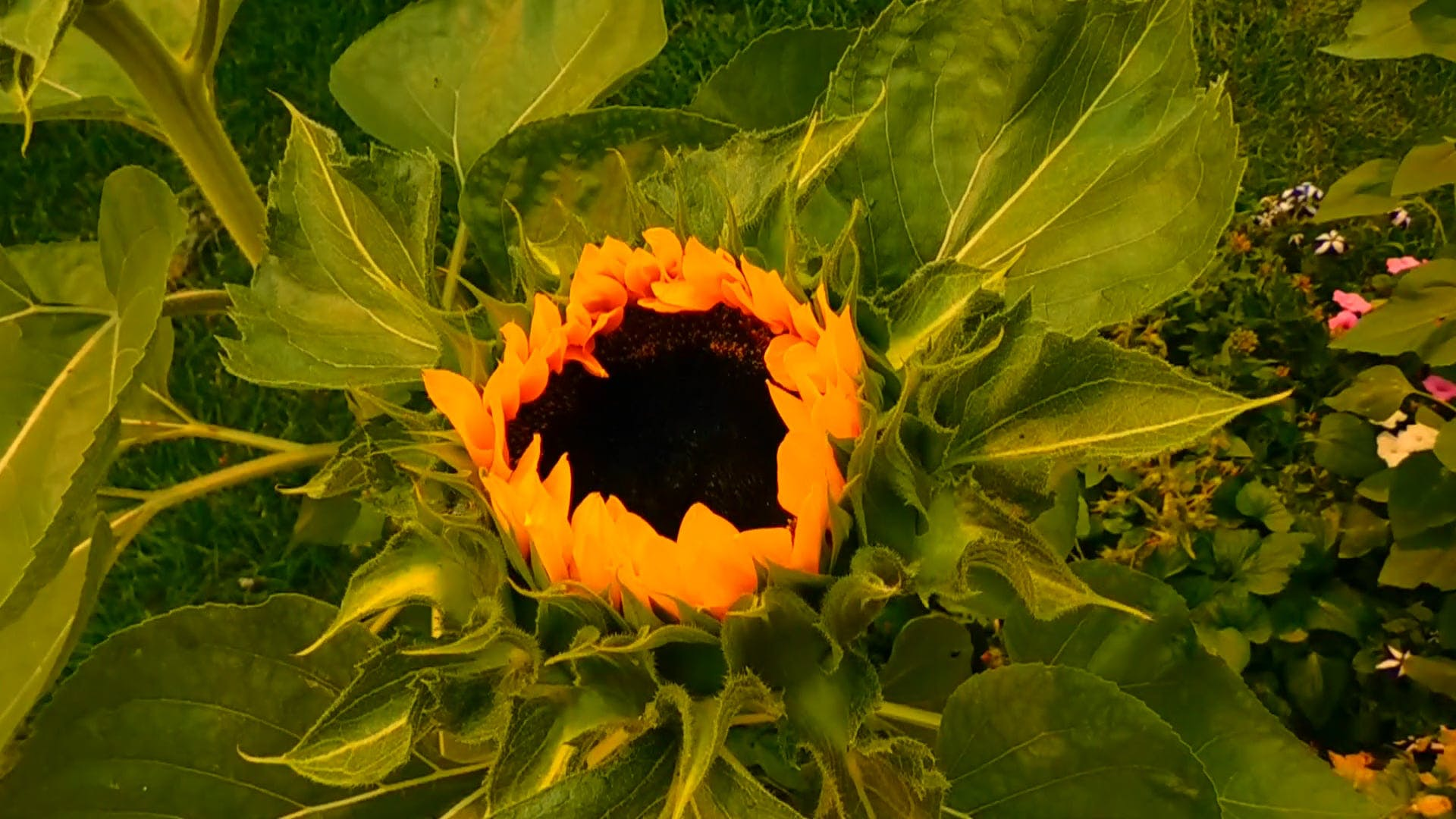 Sunny Sunflower Begins to Bloom