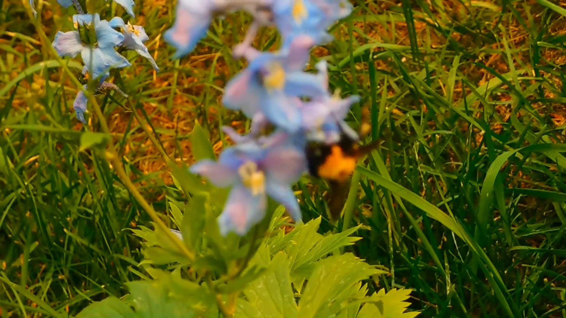 Bumble Bee And Pollination Of Flowers