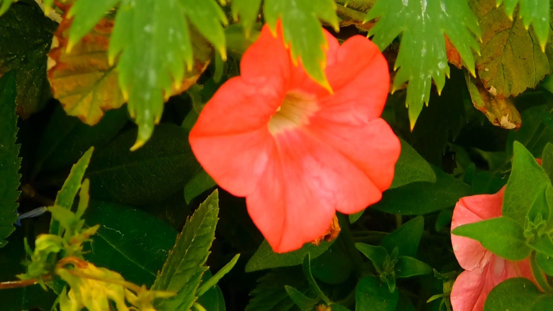 close-up video of Petunia Flower
