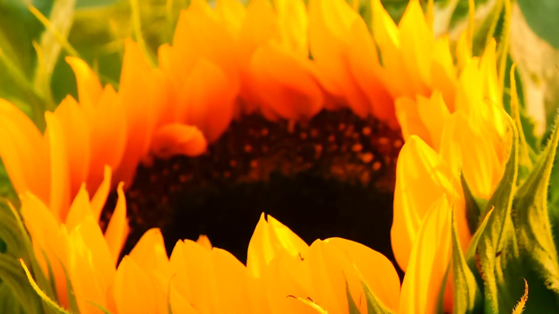 Close-Up Video of a Bright Sunflower