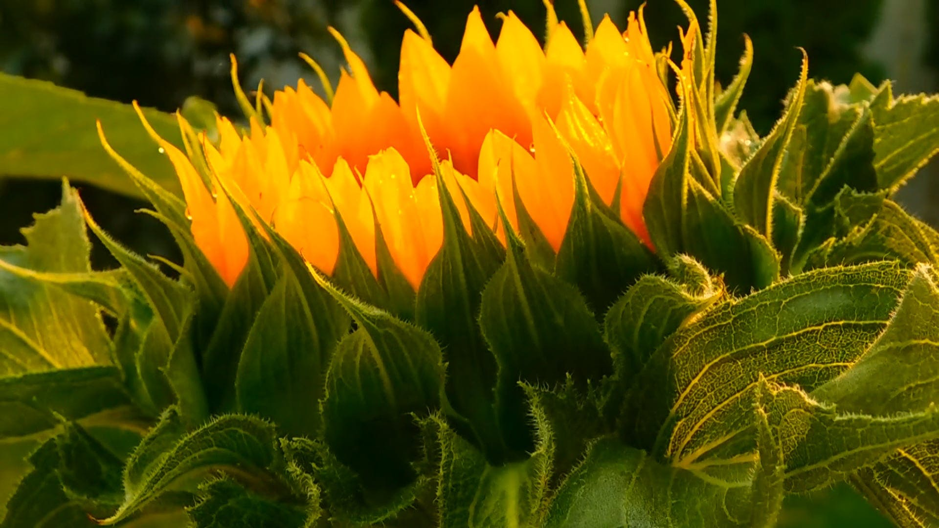 Side View Of A Blooming Sunflower