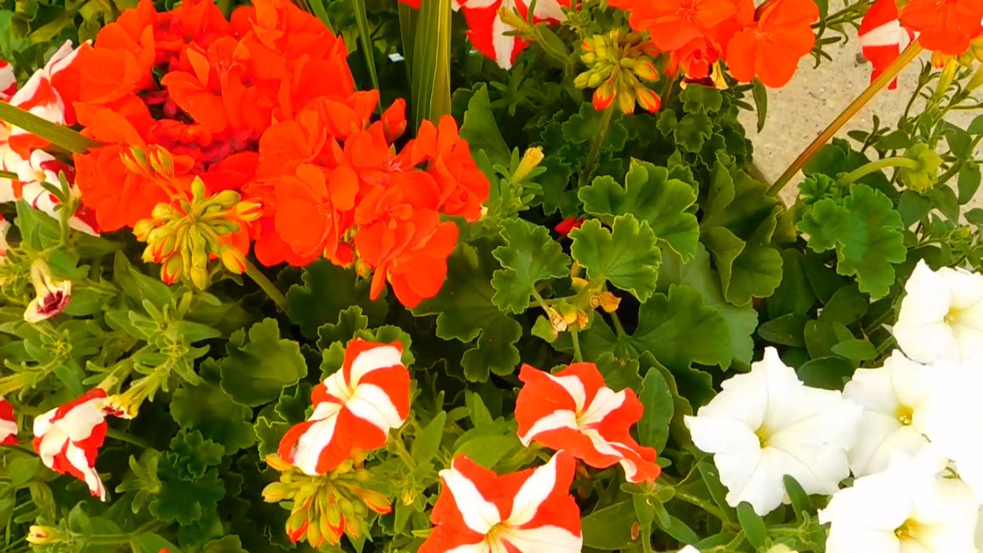 Video of Petunia Flowers