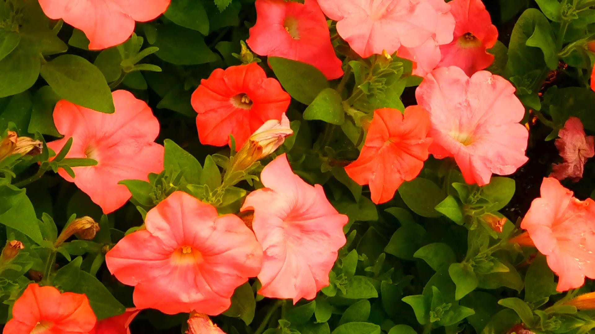 Close-Up Video of Petunia Flowers