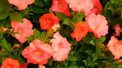 Video De Primer Plano De Las Flores De Petunia