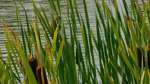 Beautiful Cattails At The Lake