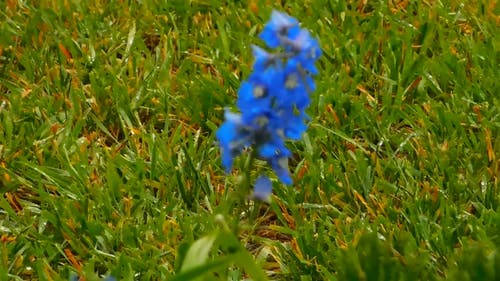 Blue Flowers In The Middle of a Grassland