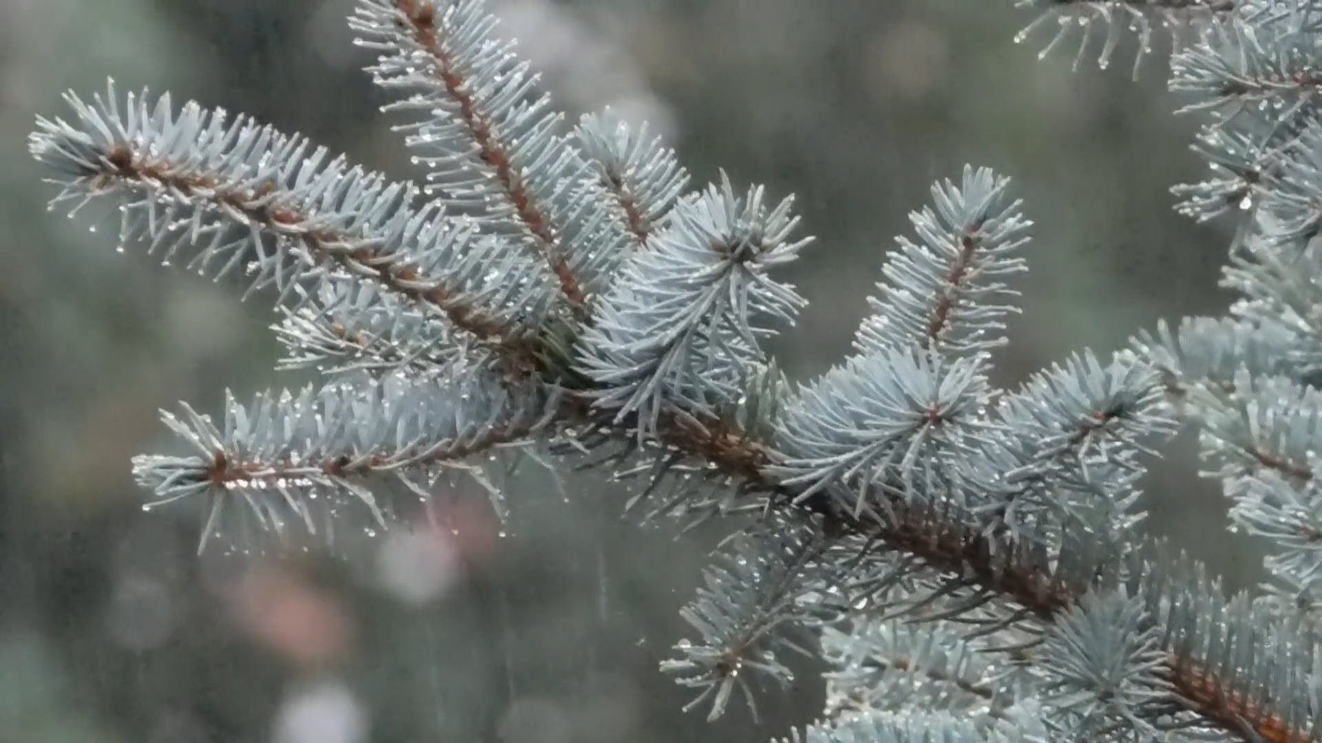 Silver Spruce Branches Under The Rain