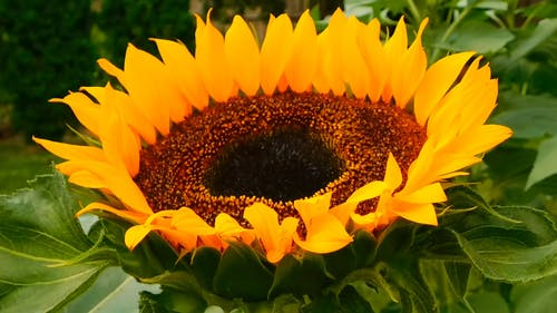Close-Up View Of A Bee On A Sunflower