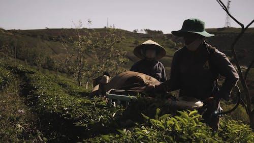 People Harvesting Tea Leaves