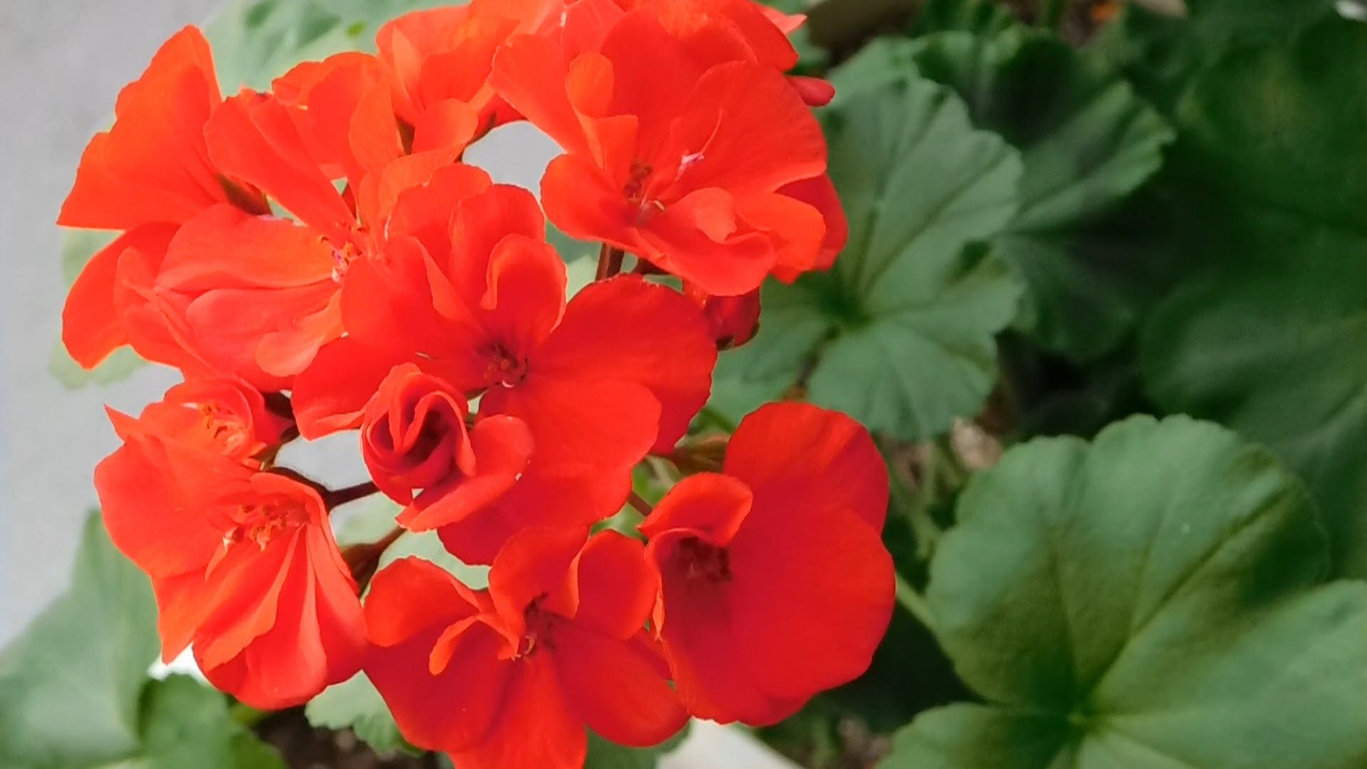 Bright Red Geranium Plant Blooms