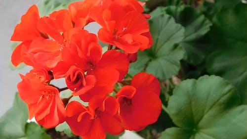 Bright Red Geranium Plant Blooms