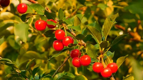 Cherry Fruits  Ready to Pick