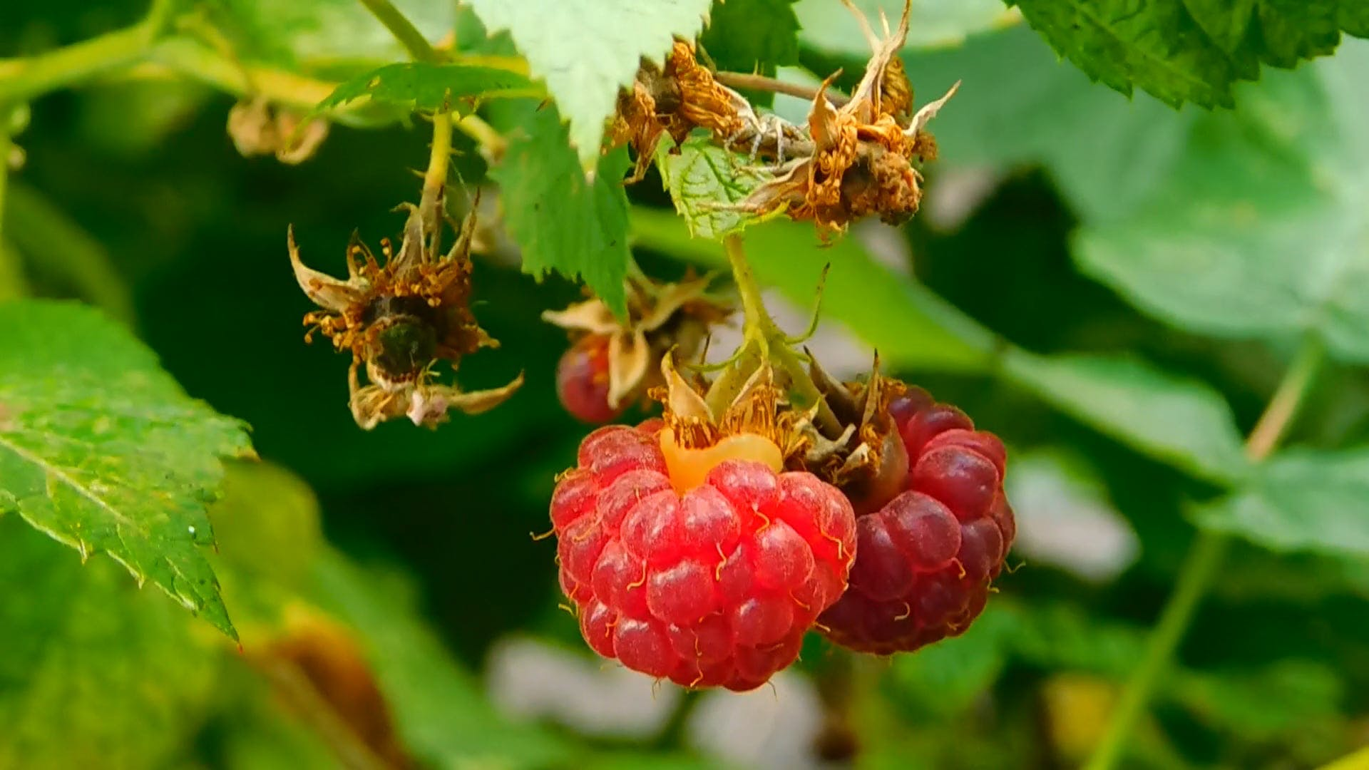 Raspberries Hanging On Tree