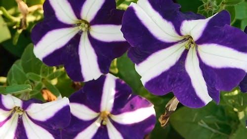 Purple Striped Flowers