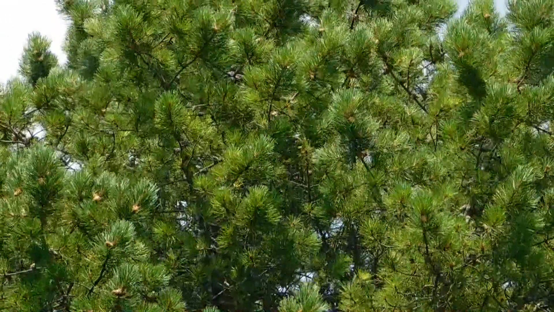 Pine Trees On A Windy Day