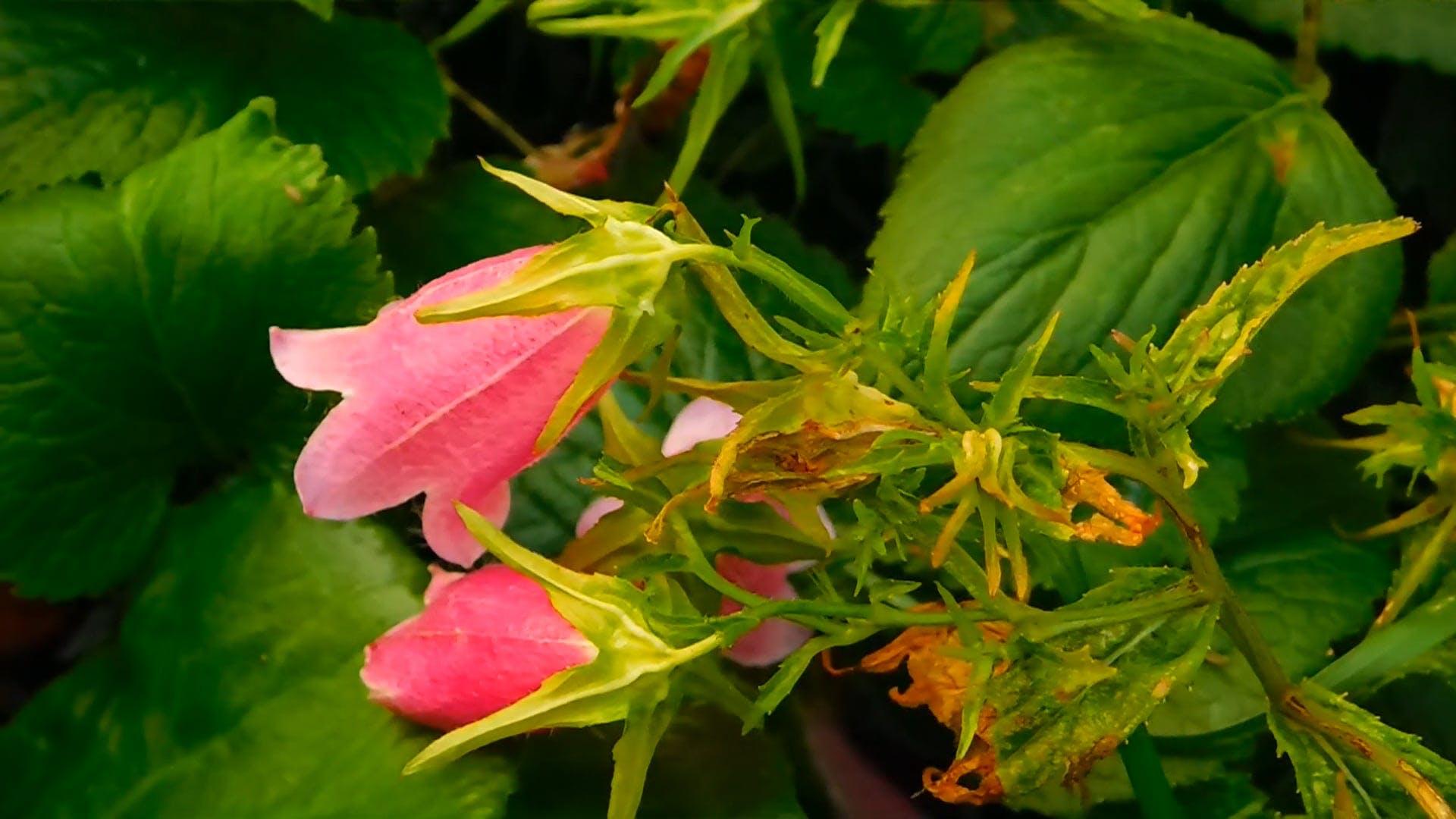 Summer Pink Bells