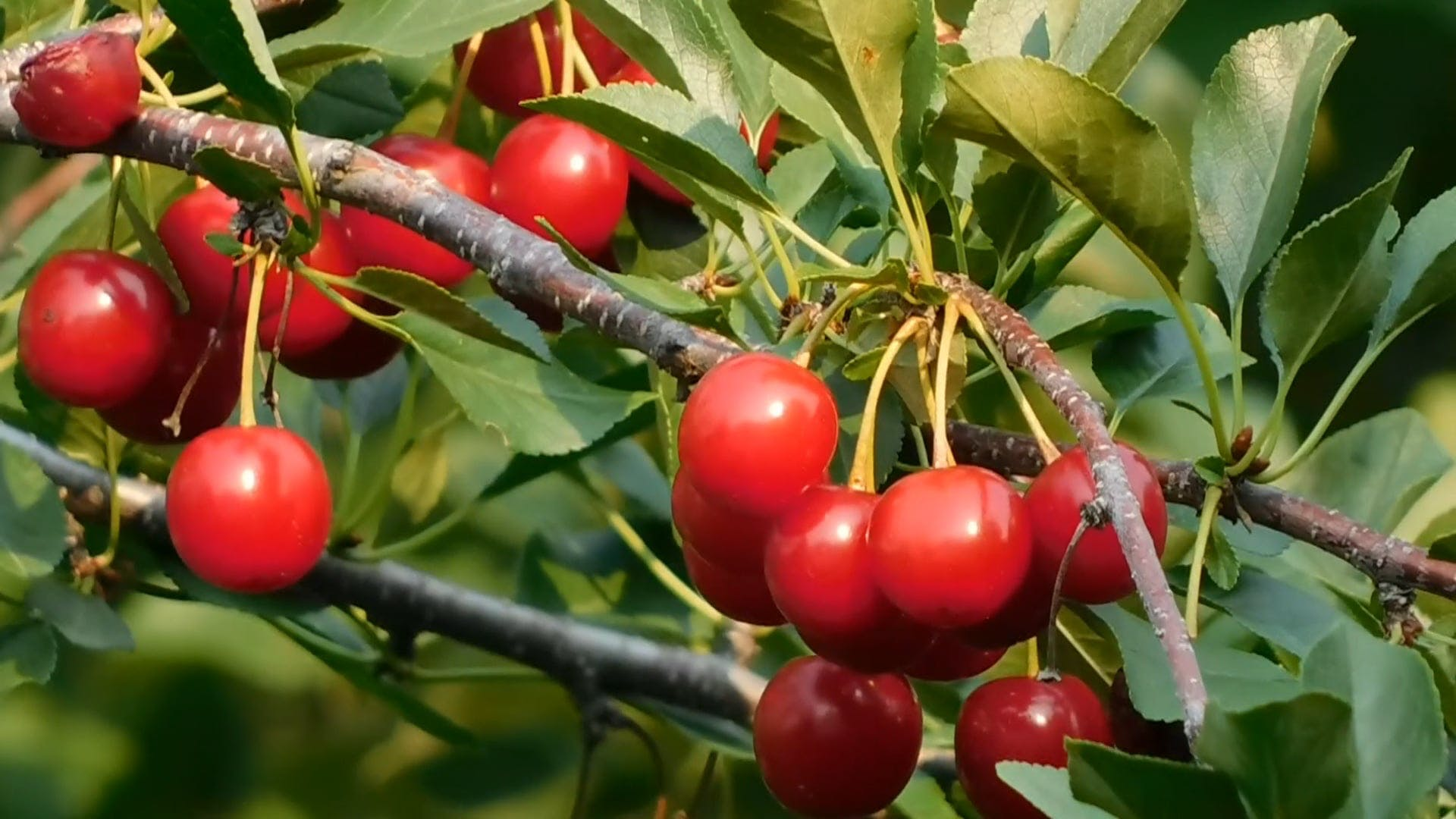 Fresh Cherries To Be Harvested