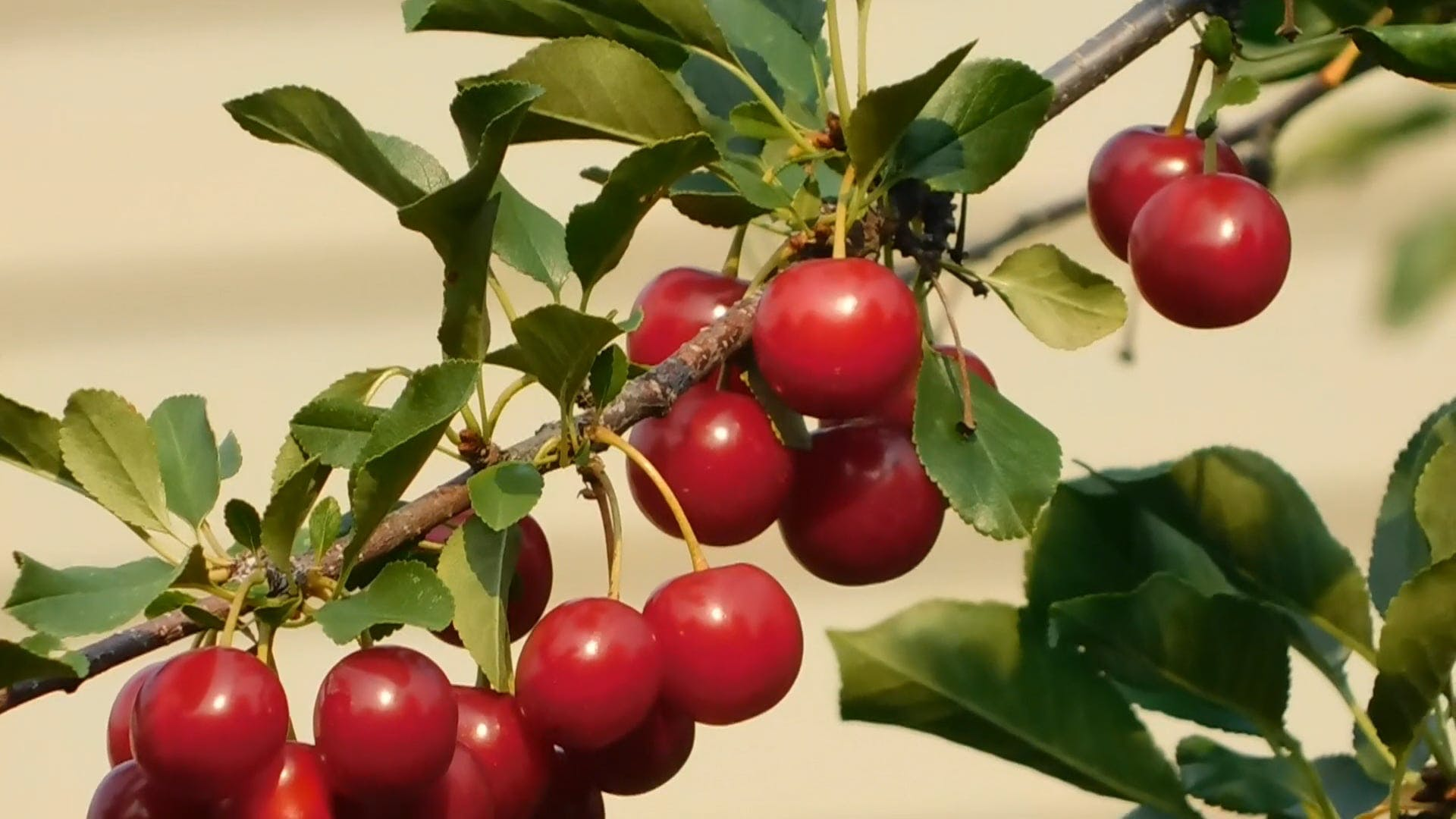 Delicious Cherries on the Tree