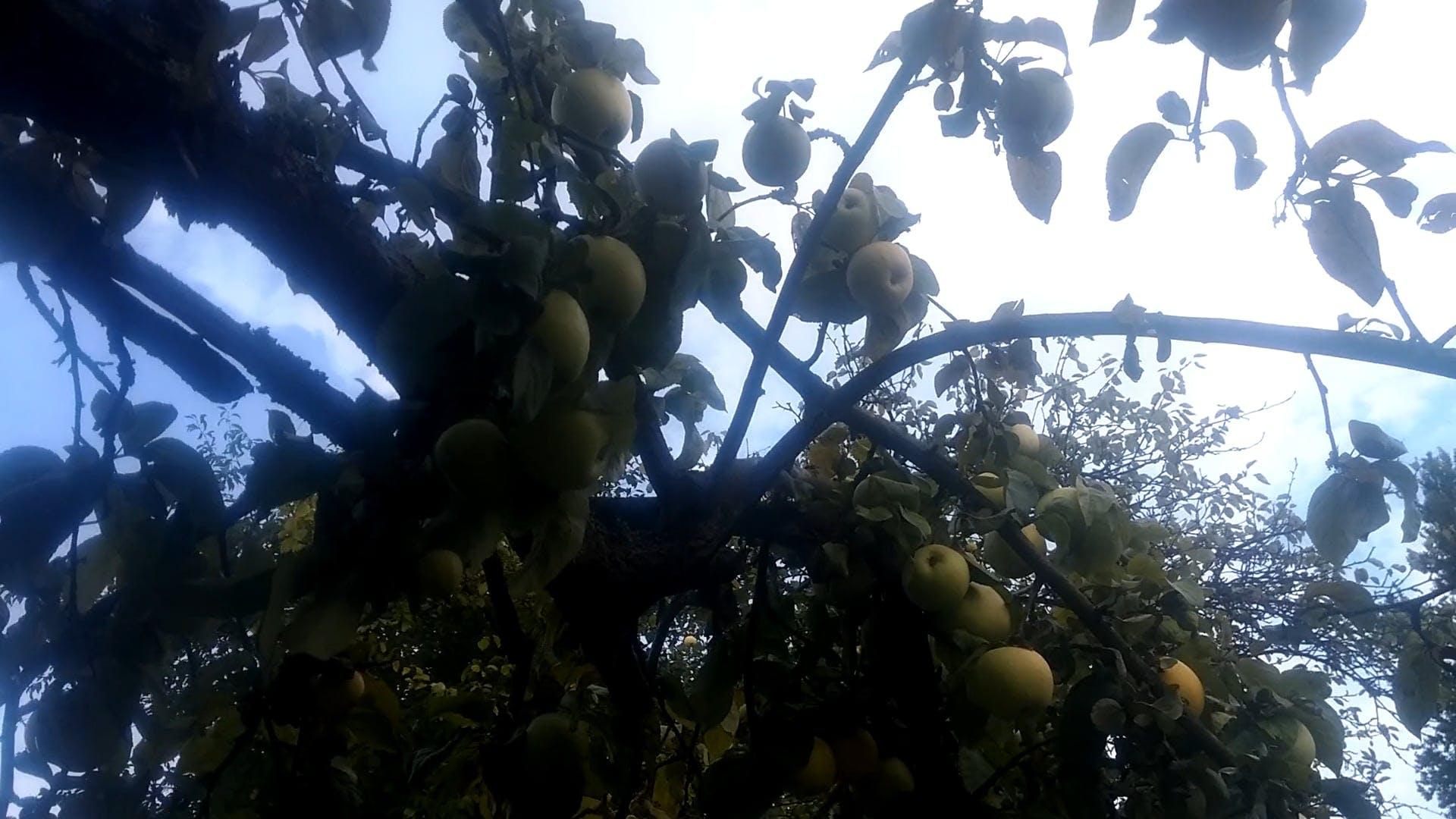 Video of Apples on Tree