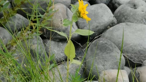 Yellow Wildflower Among Stones
