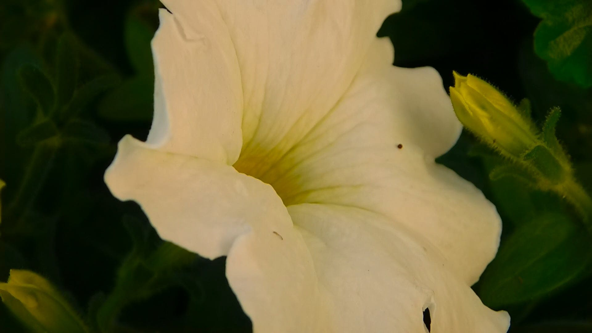 Close-Up Video of White Petunia