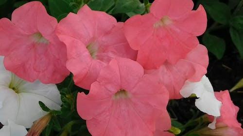 Pembe Petunya çiçeklerinin Yakın çekim Videosu