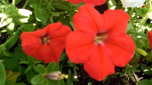 Red Gumamela Flowers