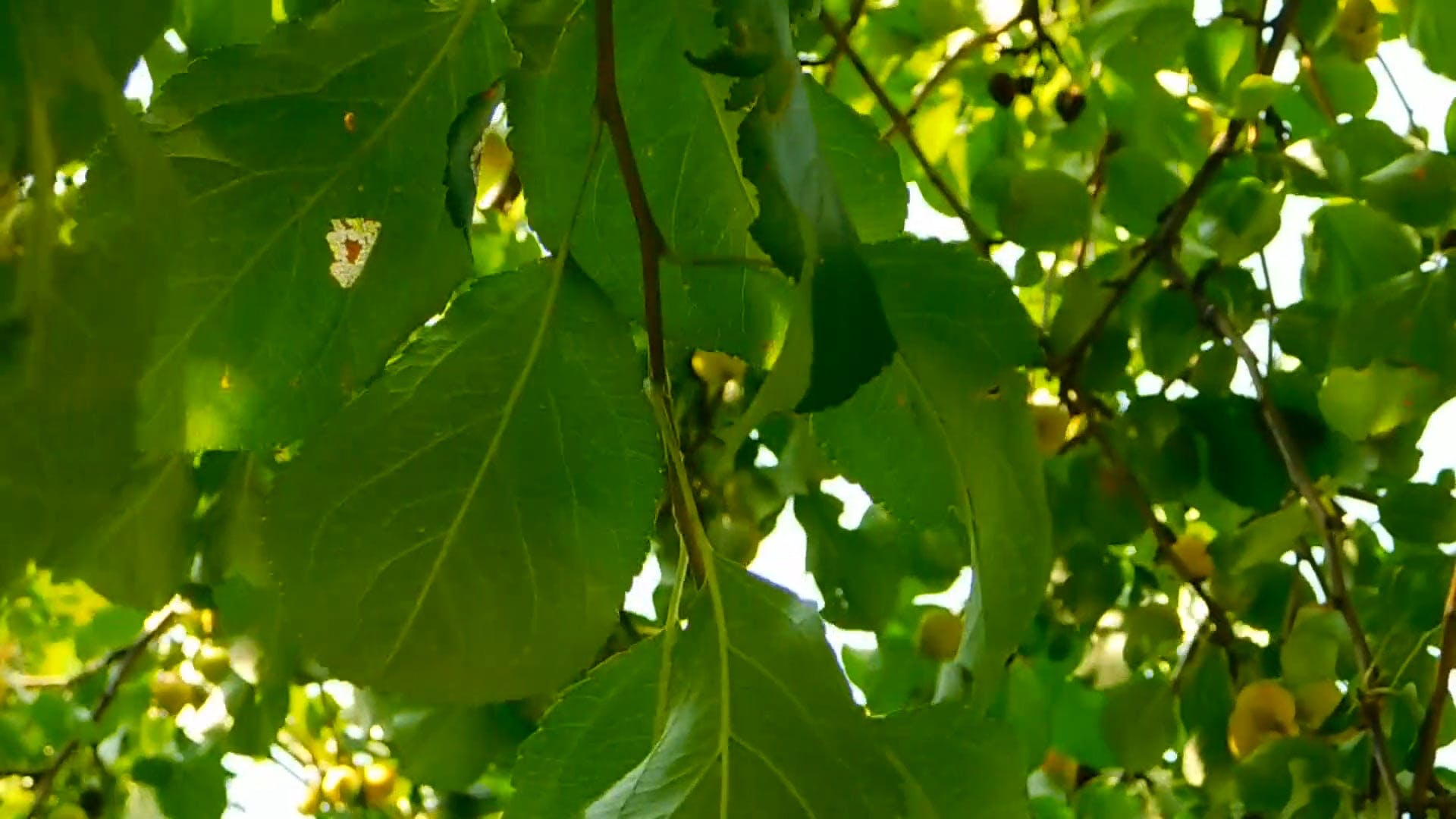 Green Leaves On A Tree Branch