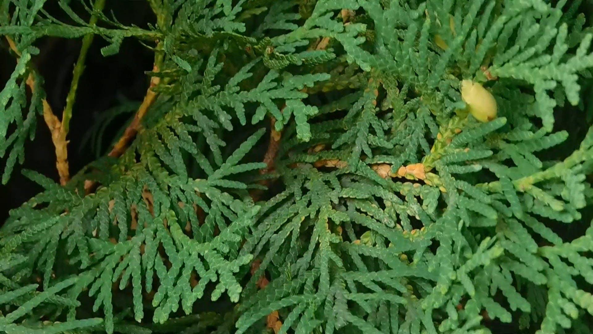 Wonderful Evergreen Cedar