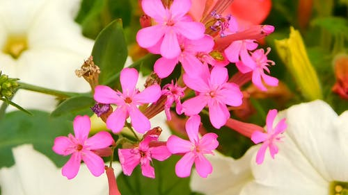 Close-up View Of Bright Pink Flowers