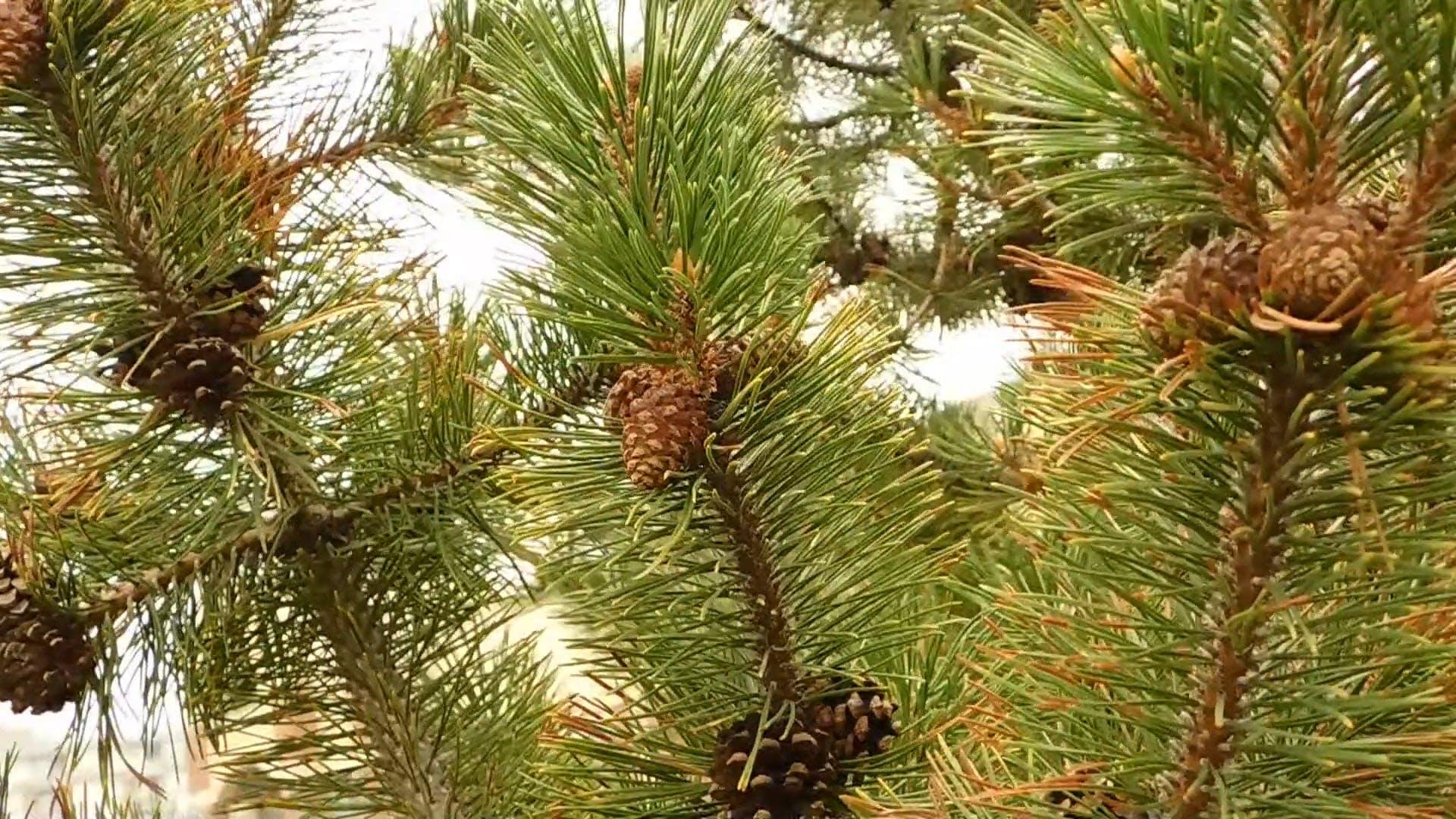 Long Needle Pine Tree With Acorns