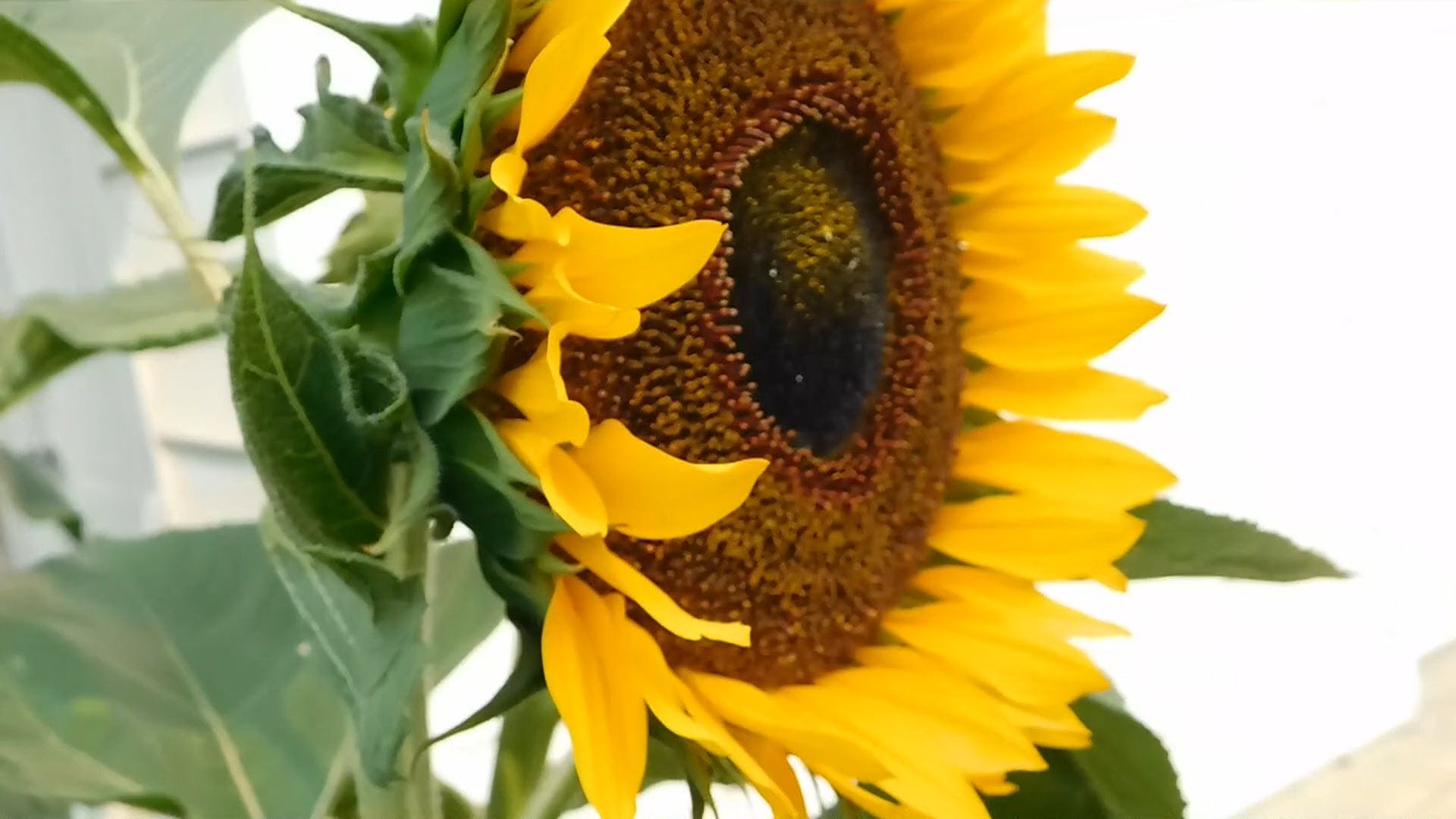Side View Of A Sunflower