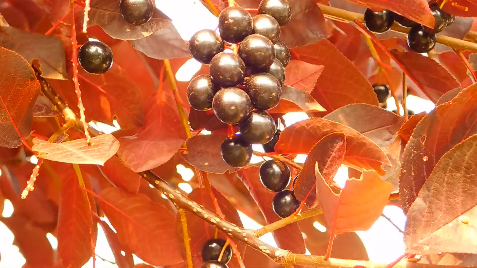 Chockoberry Ornamental Tree