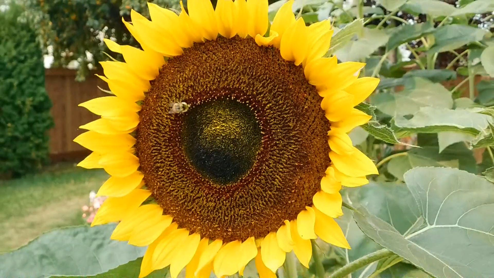 Bee At Work On The Sunflower
