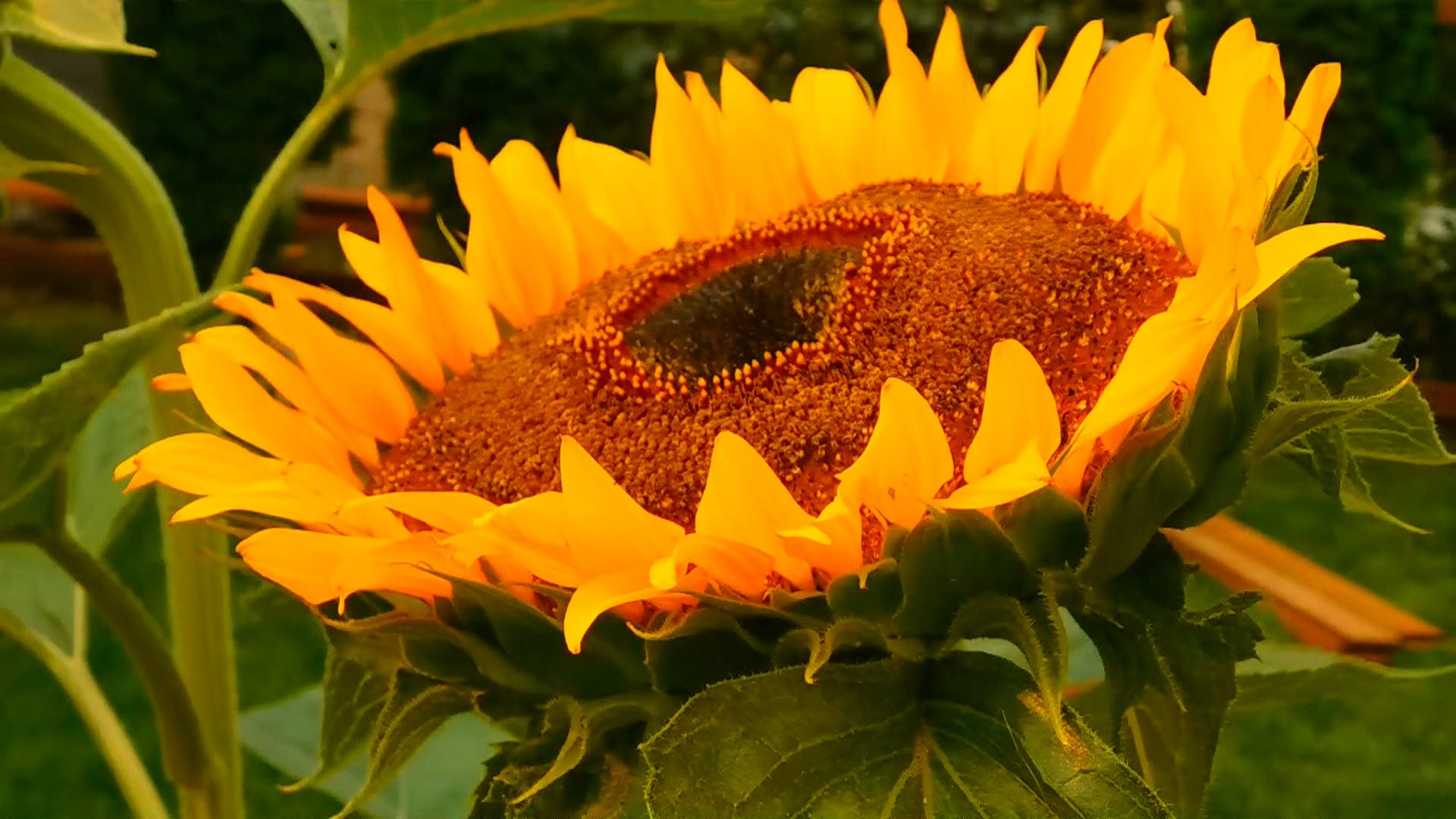 Sunflower in a Smog Hazy Day