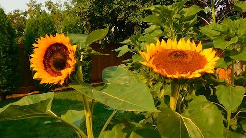 Summer Sunflower Blooms