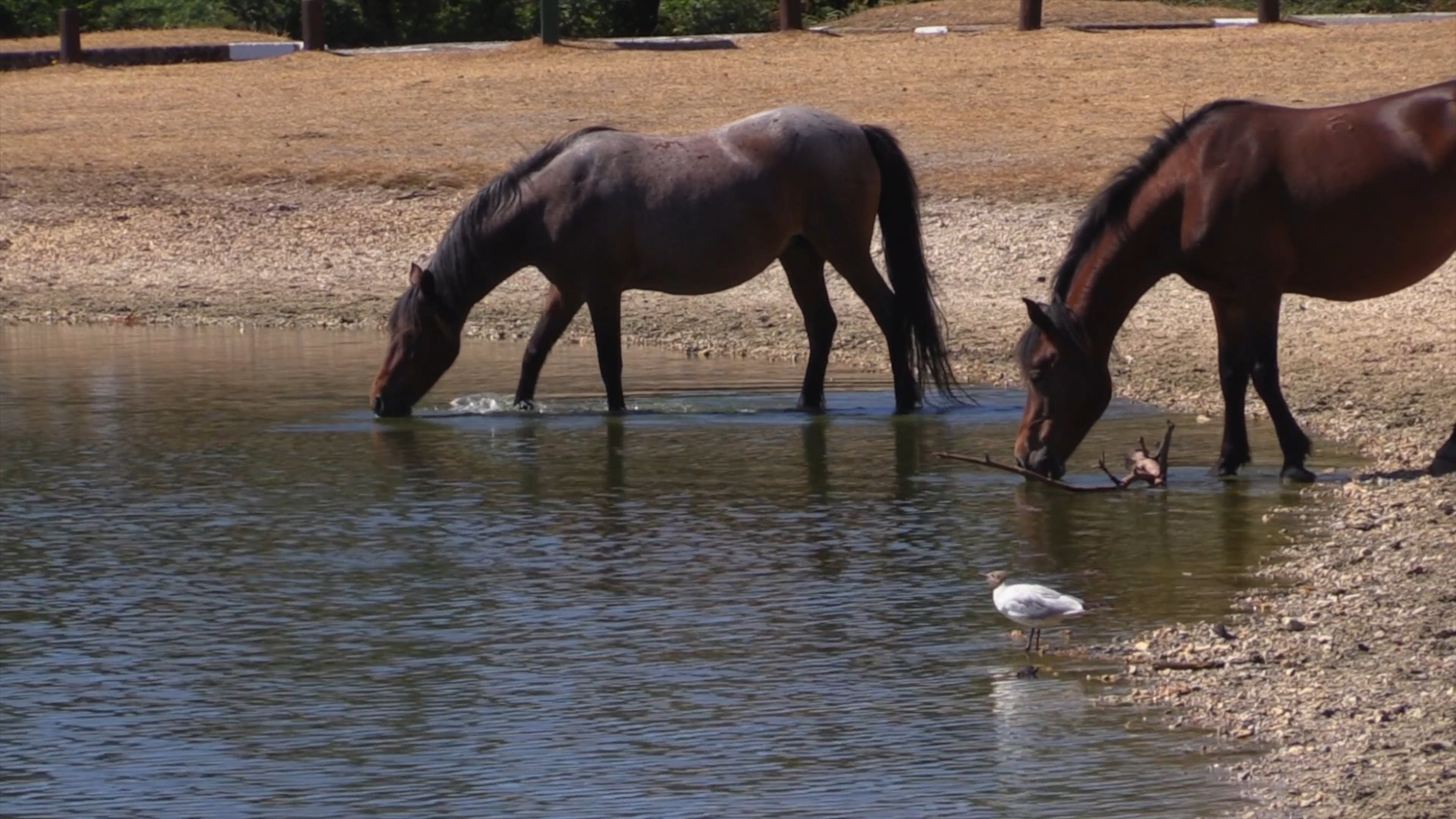 Horses Drinking In The Pond