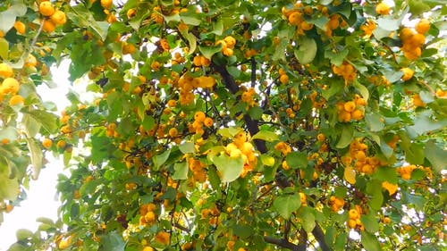 Ornamental Tree With Fruits