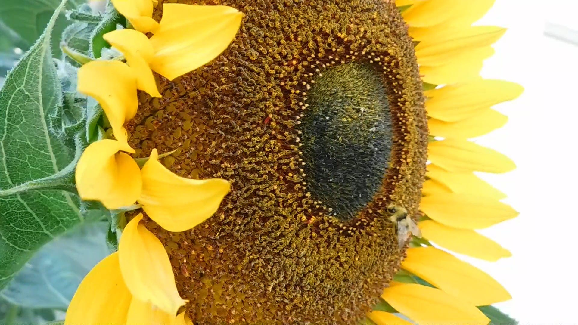 Macro Video of Bee on Sunflower
