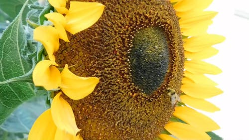 Macro Video of Bee on Sunflower