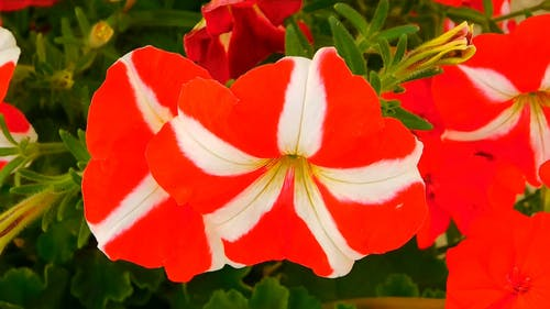 Red Flowers With White Stripes