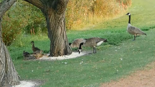 Video of Geese Near Tree Trunk