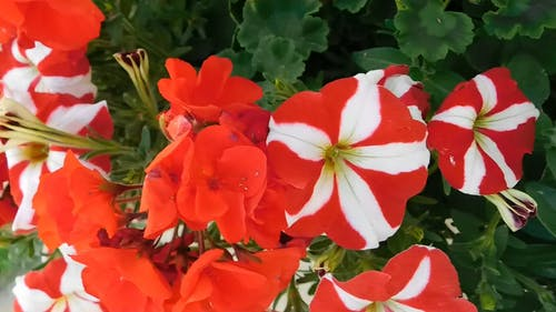 Video of White and Red Petunia Flowers