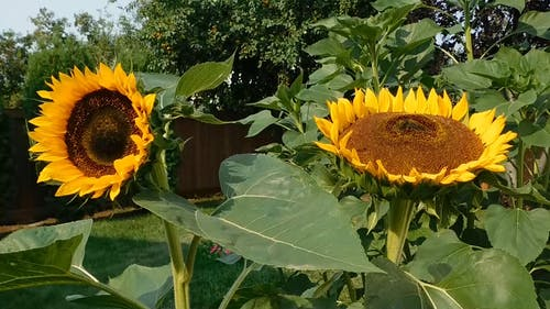 Two Sunflowers In Bloom