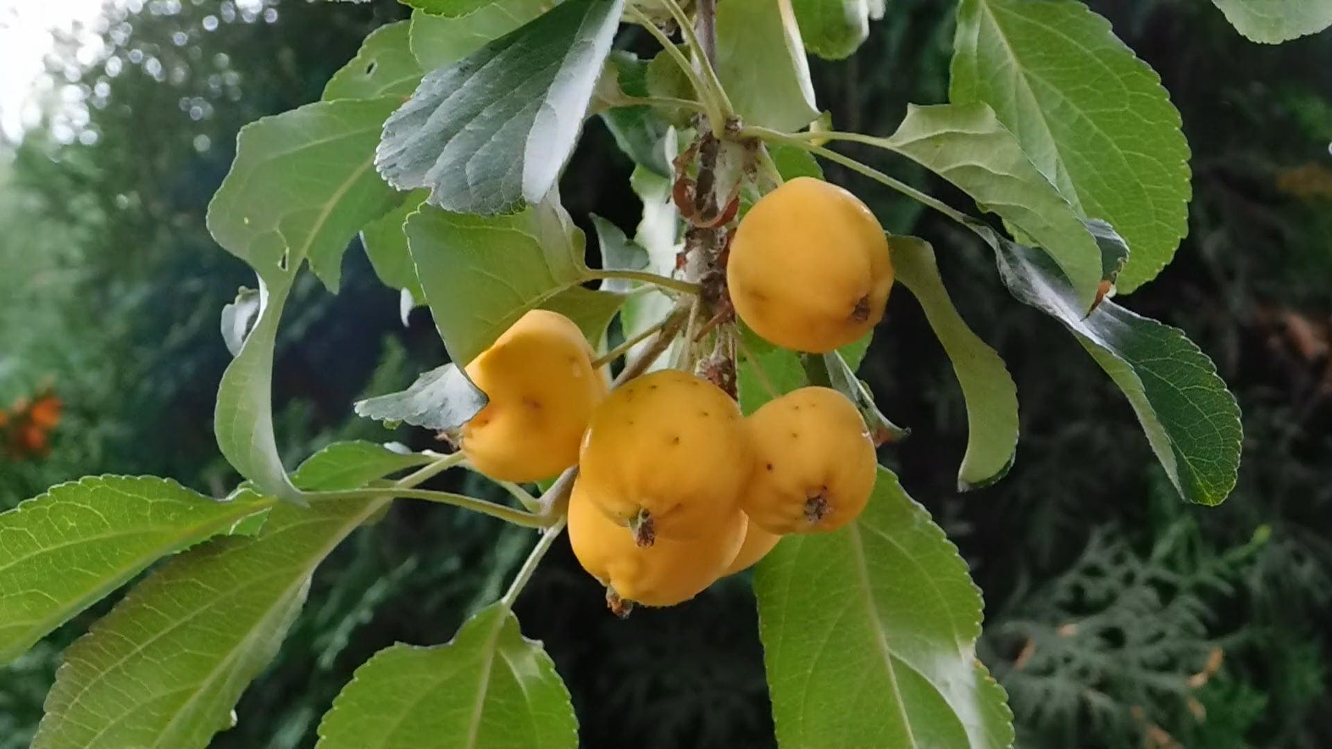 Close-up View Of Fruits On A Tree Branch